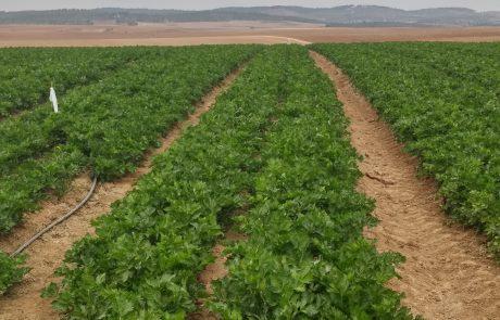 סלרי-קציר ואריזה בשדה ומשם הישר ליצוא